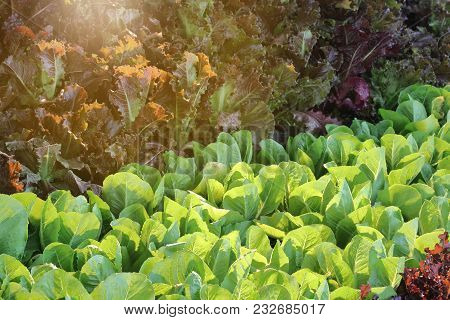 Green And Red Oakleaf Lettuce Plants With Sunlight Background