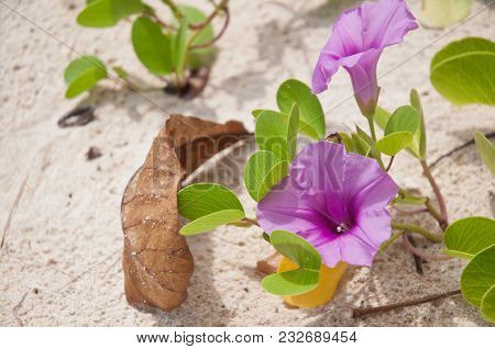 Pink Beach Morning Glory Flower And Leaf On Seashore