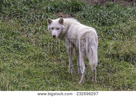 A White Wolf In Open Field, Looking Mean