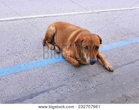 Fearful Brown Stray Dog Lying On The Road