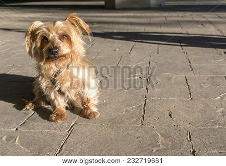 Wide Angle Of A Cute Dog Sitting, Copy Space. Doggy With Expression. Yorkshire Terrier
