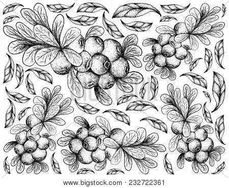 Berry Fruit, Illustration Wall-paper Background Of Hand Drawn Sketch Of Cranberries. High In Vitamin