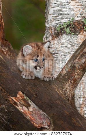 Female Cougar Kitten (puma Concolor) Looks Right - Captive Animal