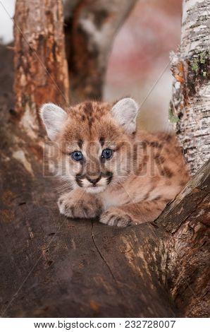 Female Cougar Kitten (puma Concolor) In Tree - Captive Animal
