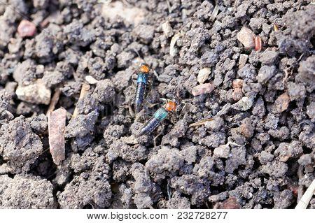Staphylinidae Bug (perhaps Paederidus Sp.) On An Earth Background