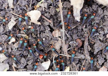 Staphylinidae Bugs (perhaps Paederidus Sp.) On An Earth Background