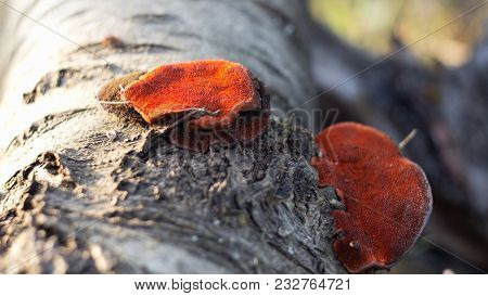 Pycnoporus Cinnabarinus Is A Sponge Of The Polyporaceae Family And Polyporales
