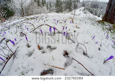 Mountain Meadow Full Of Early Spring Crocus Or Saffron Flowers Cowered By Late Snowsnow, Fisheye Lan