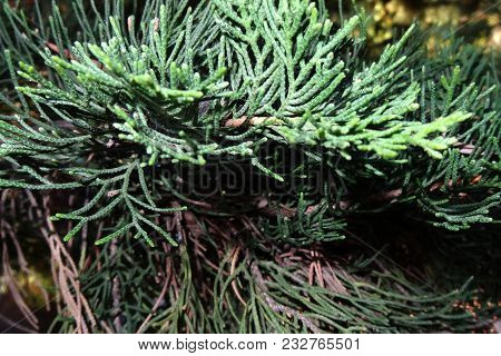 Evergreen Coniferous Tree - Short-haired Black Spruce, Background.