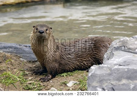 Close-up Of An North-american Otter In His Natural Habitat.