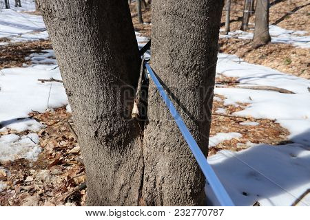 Blue Tubing On A Maple Tree Collecting Sap For Maple Syrup Production