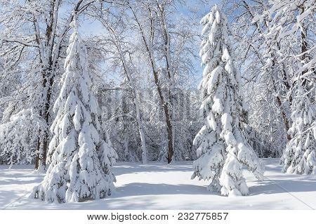 Horizontal Image Of Pure White Snow Covered Spruce Trees On A Cold Winter Day.