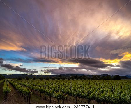 Colorful Clouds At Sunset Over Napa Valley Vineyard In Summer. Vibrant Sky, Green Vines In Californi