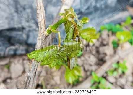 Spring Frost Damage In Vineyard