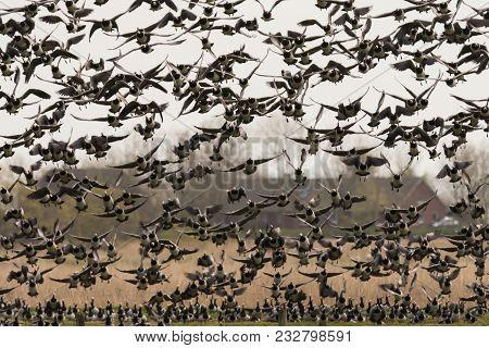 Flock Of Flying Barnacle Goose Branta Leucopsis