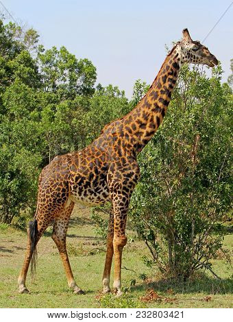 Large Male Giraffe (giraffa Camelopardalis), Standing In The Green Vibrant African Bush In The Green