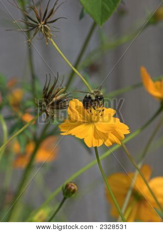 Bumble Bee On Yellow Cosmos Flower