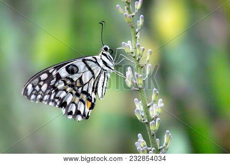 Papilio Demoleus Is A Common And Widespread Swallowtail Butterfly. Which Is Also Known As The Common