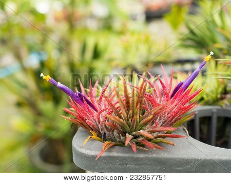 Red Plant (aechmea Fasciata Inflorescence) With Blooming Purple Violet Flower With Green Background.