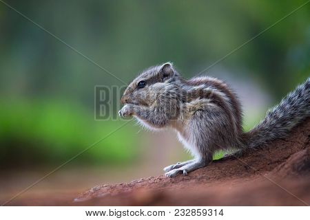 Squirrels Are Members Of The Family Sciuridae, A Family That Includes Small Or Medium-size Rodents.