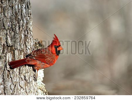 Male Cardinal, With Crest Standing Up, Clinging To The Side Of A Gray Oak Tree On A Blurred Gray Bac