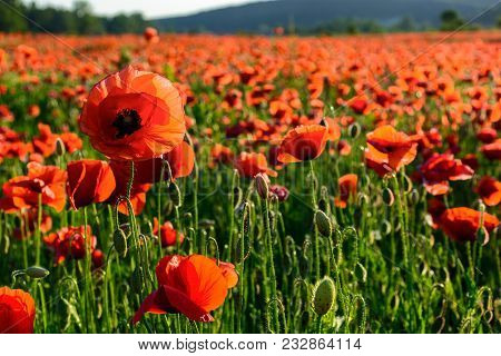 Big Red Poppy Flower On The Field In Mountains At Sunset. Beautiful Summer Nature Background
