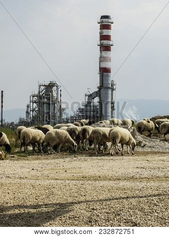 A Flock Of Sheep Feeds Close To The Oil Refining Complex. The Photo Was Shot In Corinth, Greece.