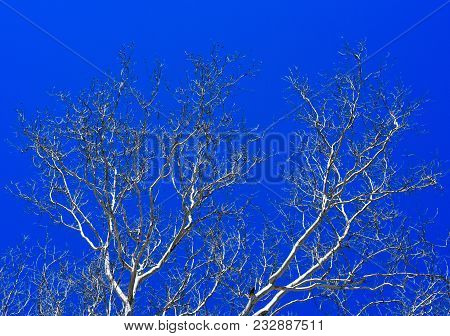 White Branches Of Sycamore Trees Silhouetted Against A Blue Sky.