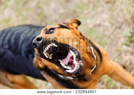 Angry Dog With Bared Teeth Out Of Doors