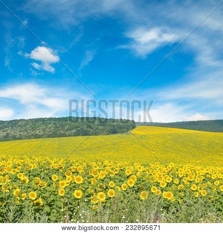 Sunflower field and blue sky. Copy space