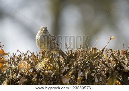 Close-up of a beautiful little Sparrow Bird on a Hedge in Spring. View to a small Sparrow Bird in morning. Birds and Animal Backgrounds.