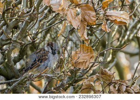 Close-up Of A Beautiful Little Sparrow Bird In A Hedge In Spring. View To A Small Sparrow Bird In Mo