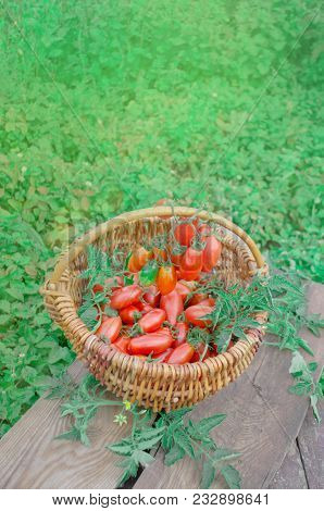 Fresh Ripe Red Tomatoes In A Basket On The Garden