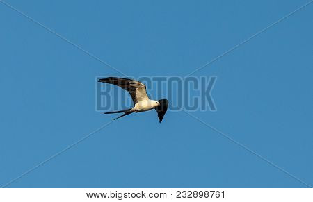 Swallow-tailed Kite Collects Spanish Moss To Build A Nest