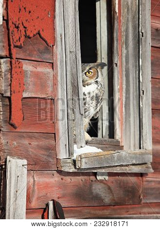 Close Up Image Of A Great Horned Owl, Peaking Around The Corner Of An Open Window In An Old Barn.  W
