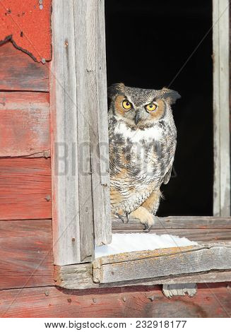 Close Up Image Of A Great Horned Owl, Perched In A Window Of An Old Barn.  Winter In Minnesota.