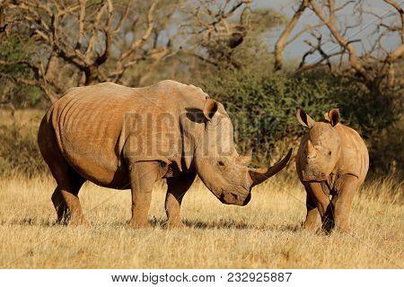 White rhinoceros (Ceratotherium simum) with calf in natural habitat, South Africa