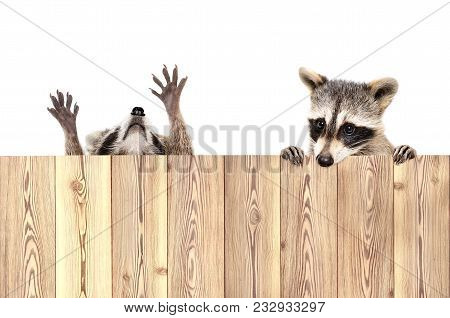 Two Funny Playful Raccoons, Peeking From Behind A Fence, Isolated On White Background