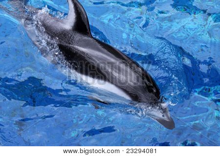 Pacific white-sided Dolphin (Lagenorhynchus obliquidens) swimming in blue water poster