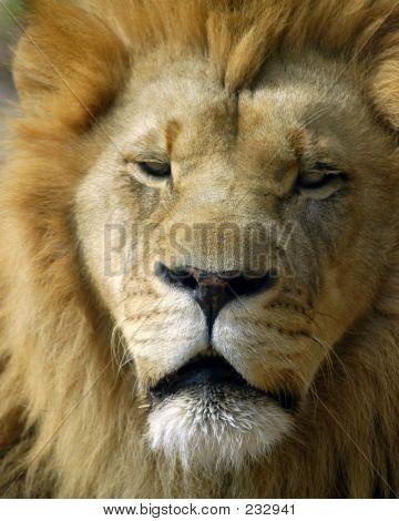 Tier Wild Lion
