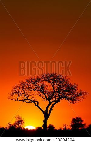 Marula tree at sunset