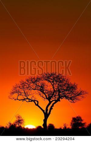 Marula-Baum bei Sonnenuntergang