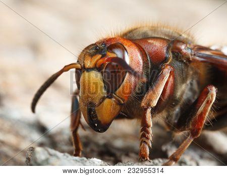 Hornet Thorax