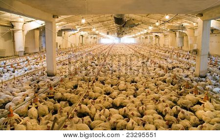 A considerable quantity of the adult hens (broilers) which are in hen house in territory of an integrated poultry farm poster