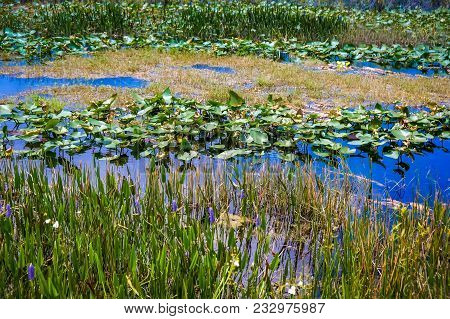 Summer Swamp With Lily Pads And Grass