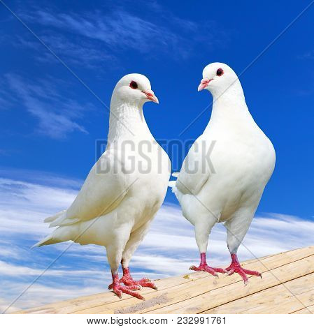 Two White Pigeon On Perch With Beautiful Sky, Imperial Pigeon, Ducula
