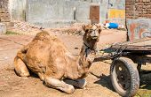 A dromedary with a cart waiting for work. Patan, Gujarat state of India poster