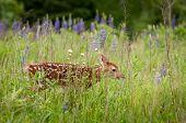 White-Tailed Deer Fawn (Odocoileus virginianus) Walks Nearly Hidden in Grass - captive animal poster