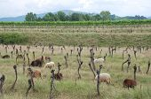 Sheep amongst grape vines which have been left to die in a field in Friuli north east Italy poster