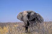 African elephant. Photographed in Etosha National Park Namibia Africa poster